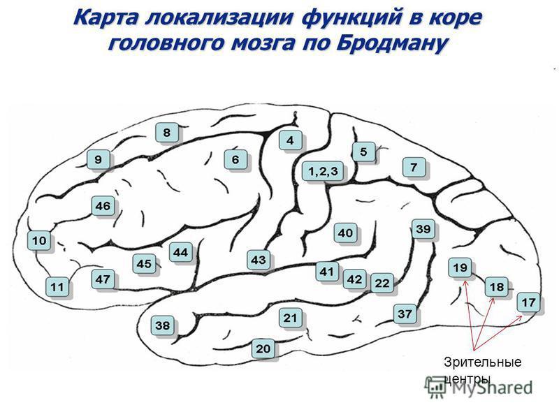Карта локализации функций в коре головного мозга по Бродману Зрительные центры