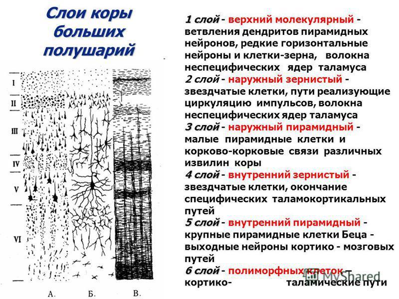 Слои коры больших полушарий 1 слой 1 слой - верхний молекулярный - ветвления дендритов пирамидных нейронов, редкие горизонтальные нейроны и клетки-зерна, волокна неспецифических ядер таламуса 2 слой - наружный зернистый - звездчатые клетки, пути реал