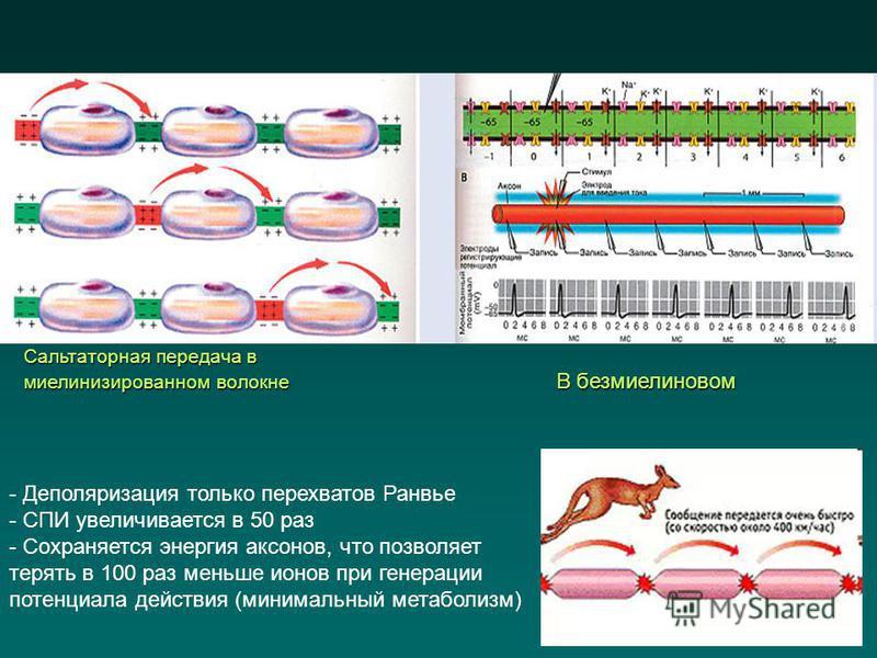 - Деполяризация только перехватов Ранвье - СПИ увеличивается в 50 раз - Сохраняется энергия аксонов, что позволяет терять в 100 раз меньше ионов при генерации потенциала действия (минимальный метаболизм) Сальтаторная передача в миелинизированном воло