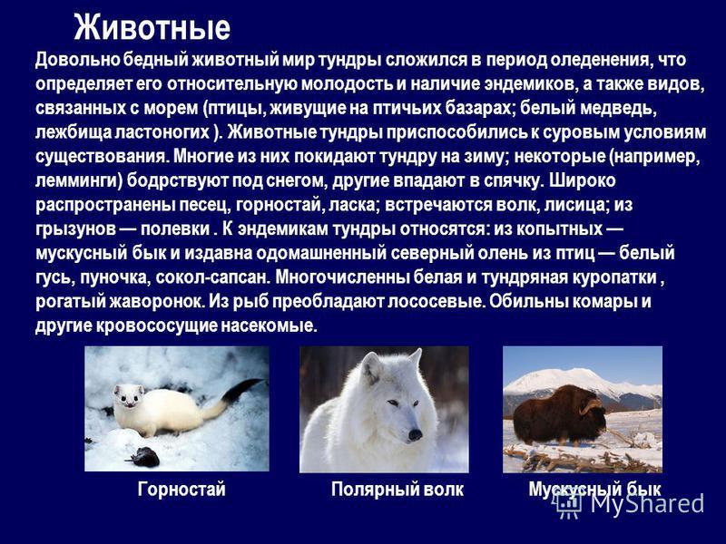 Довольно бедный животный мир тундры сложился в период оледенения, что определяет его относительную молодость и наличие эндемиков, а также видов, связанных с морем (птицы, живущие на птичьих базарах; белый медведь, лежбища ластоногих ). Животные тундр