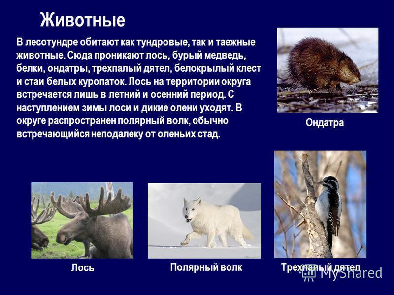 Животные В лесотундре обитают как тундровые, так и таежные животные. Сюда проникают лось, бурый медведь, белки, ондатры, трехпалый дятел, белокрылый клест и стаи белых куропаток. Лось на территории округа встречается лишь в летний и осенний период. С