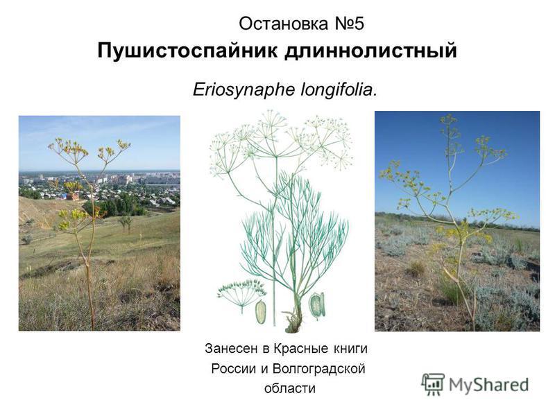 Остановка 5 Пушистоспайник длиннолистный Eriosynaphe longifolia. Занесен в Красные книги России и Волгоградской области