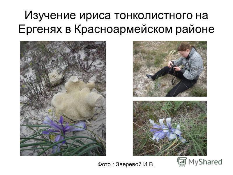 Изучение ириса тонколистного на Ергенях в Красноармейском районе Фото : Зверевой И.В.