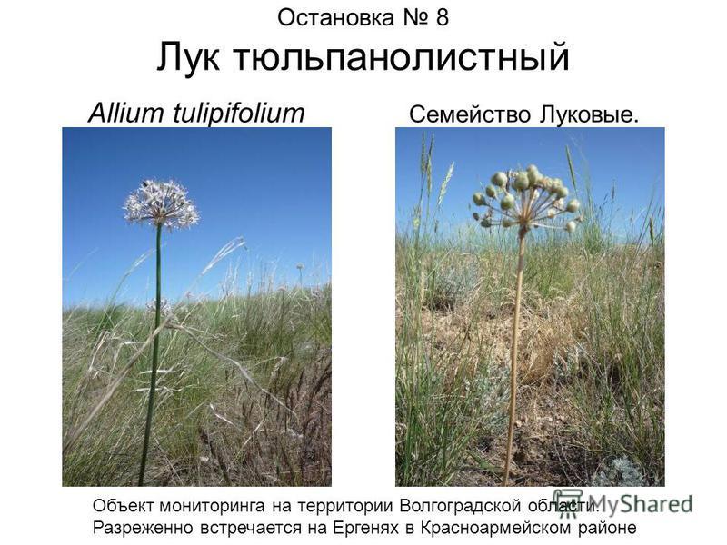 Остановка 8 Лук тюльпанолистный Allium tulipifolium Семейство Луковые. Объект мониторинга на территории Волгоградской области. Разреженно встречается на Ергенях в Красноармейском районе