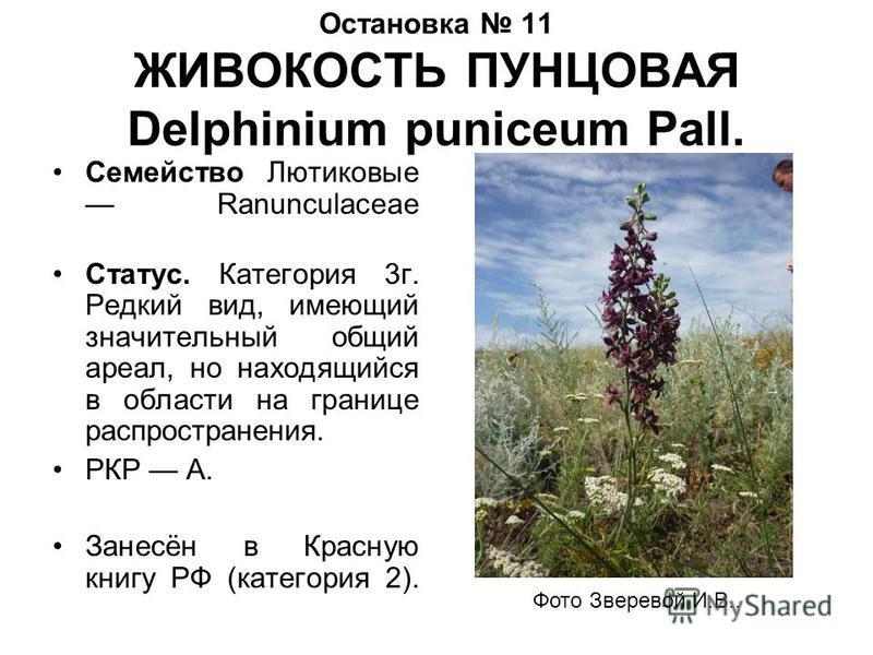 Остановка 11 ЖИВОКОСТЬ ПУНЦОВАЯ Delphinium puniceum Pall. Семейство Лютиковые Ranunculaceae Статус. Категория 3 г. Редкий вид, имеющий значительный общий ареал, но находящийся в области на границе распространения. РКР А. Занесён в Красную книгу РФ (к
