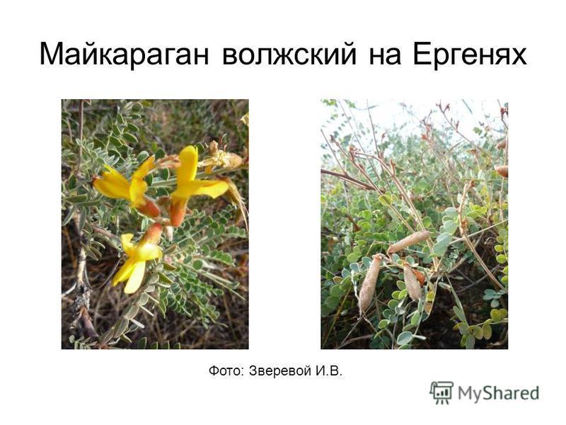 Майкараган волжский на Ергенях Фото: Зверевой И.В.