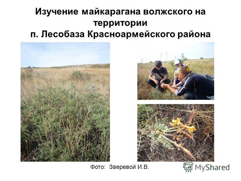 Изучение май караганда волжского на территории п. Лесобаза Красноармейского района Фото: Зверевой И.В.