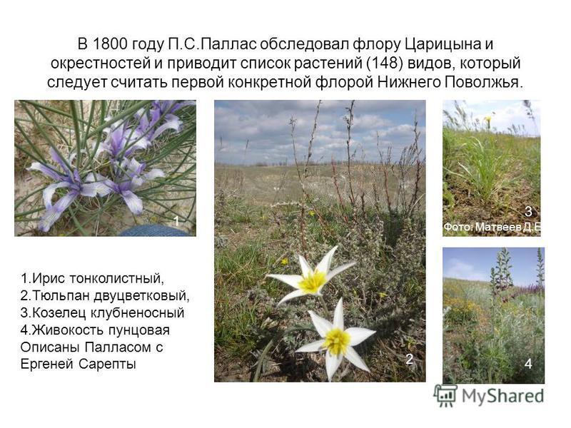 В 1800 году П.С.Паллас обследовал флору Царицына и окрестностей и приводит список растений (148) видов, который следует считать первой конкретной флорой Нижнего Поволжья. Фото: Матвеев Д.Е. 1. Ирис тонколистный, 2. Тюльпан двухцветковый, 3. Козелец к