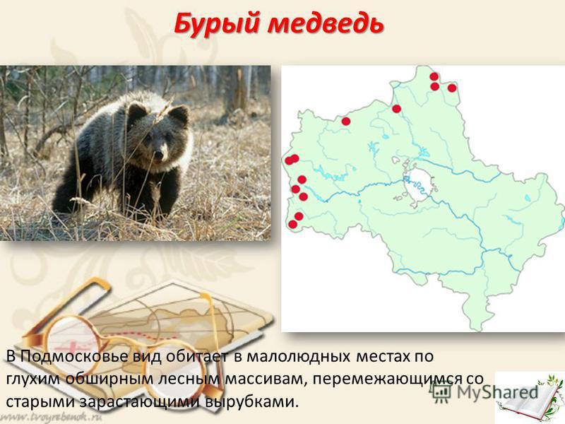 Бурый медведь В Подмосковье вид обитает в малолюдных местах по глухим обширным лесным массивам, перемежающимся со старыми зарастающими вырубками.