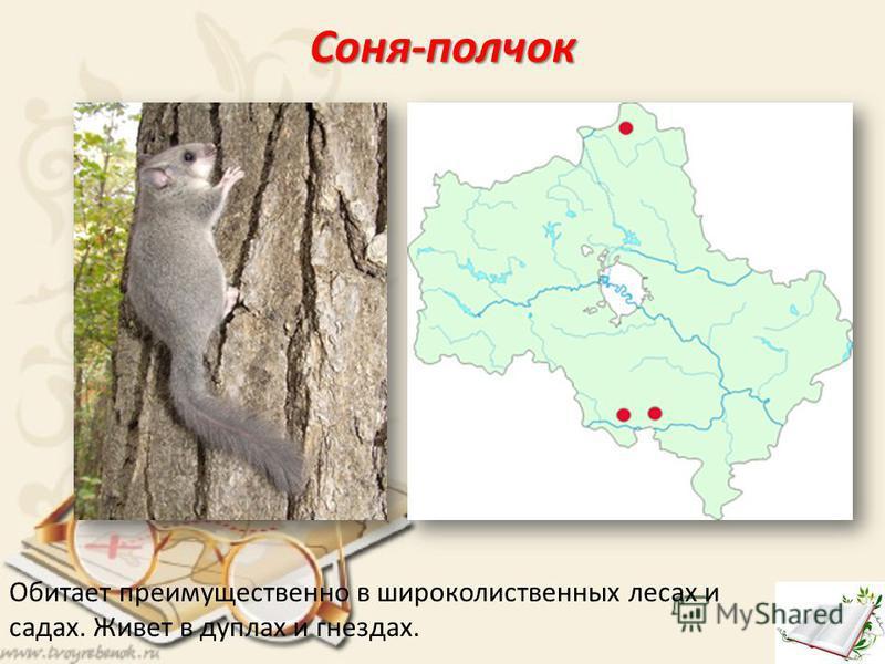 Соня-полчок Обитает преимущественно в широколиственных лесах и садах. Живет в дуплах и гнездах.