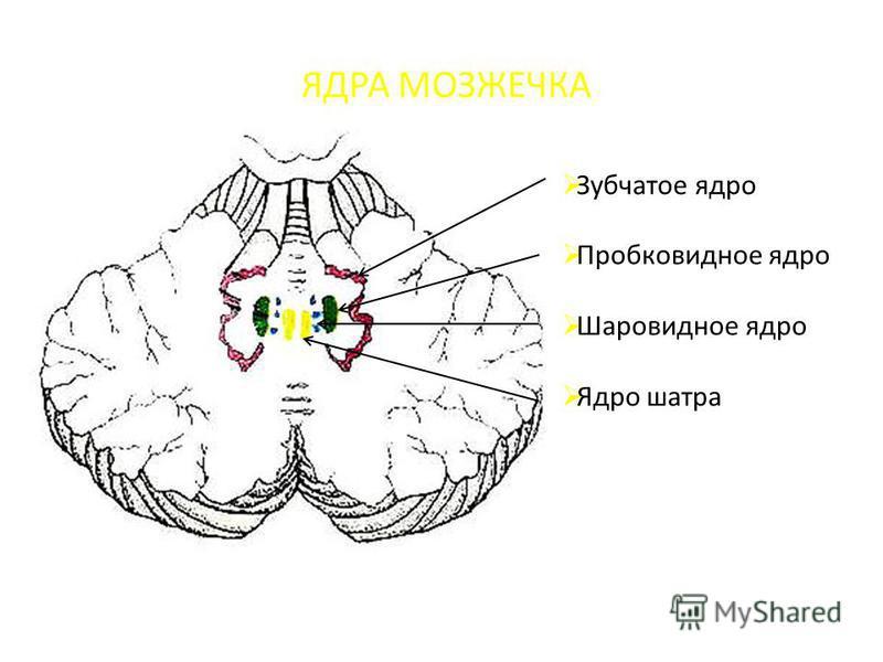 ЯДРА МОЗЖЕЧКА Зубчатое ядро Пробковидное ядро Шаровидное ядро Ядро шатра