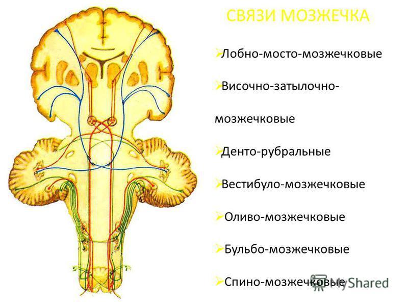 СВЯЗИ МОЗЖЕЧКА Лобно-мосто-мозжечковые Височно-затылочно- мозжечковые Денто-рубральные Вестибуло-мозжечковые Оливо-мозжечковые Бульбо-мозжечковые Спино-мозжечковые