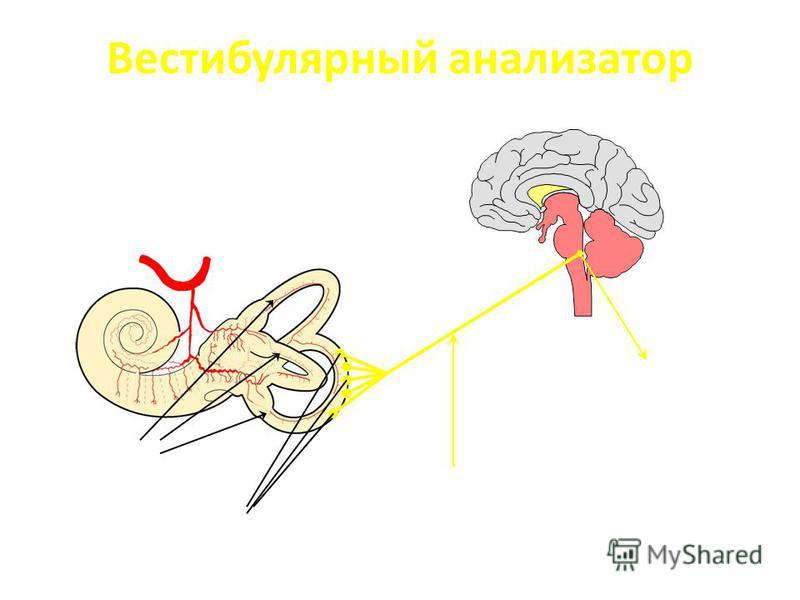 Вестибулярный анализатор Внутреннее ухо /лабиринт/ Полукружные каналы Периферические нефроны Вестибулярный нерв 1. Червь мозжечка 2. Глазодвигательные нервы 3. Кора височной доли 4. Передние рога спинного мозга 5. Ядро блуждающего нерва