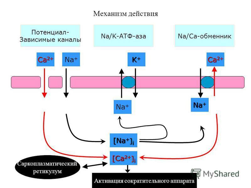Механизм действия Потенциал- Зависимые каналы Na/K-АТФ-азаNa/Ca-обменник Ca 2+ Na + K+K+K+K+ Ca 2+ [Ca 2+ ] i [Na + ] i Саркоплазматический ретикулум Активация сократительного аппарата