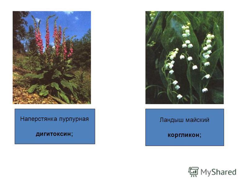 Наперстянка пурпурная дигитоксин; Ландыш майский коргликон;