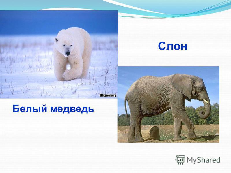 Белый медведь Слон