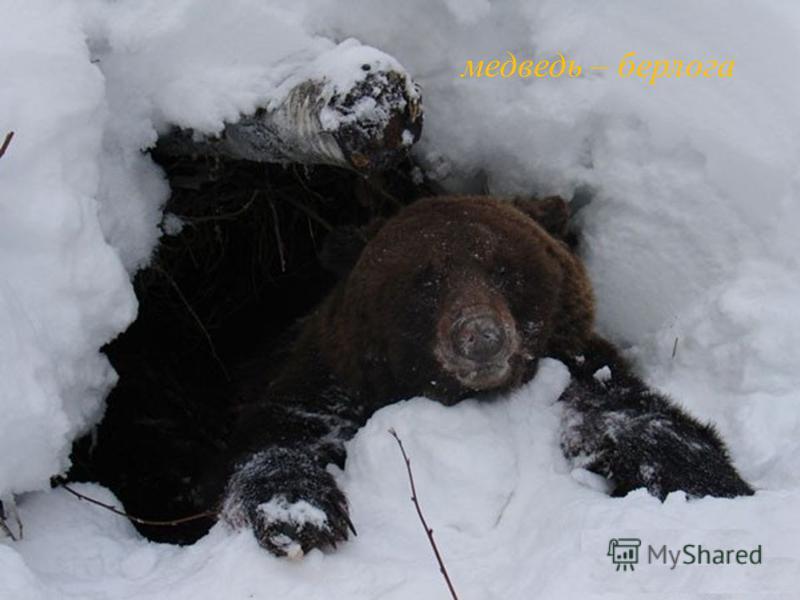 медведь – берлога