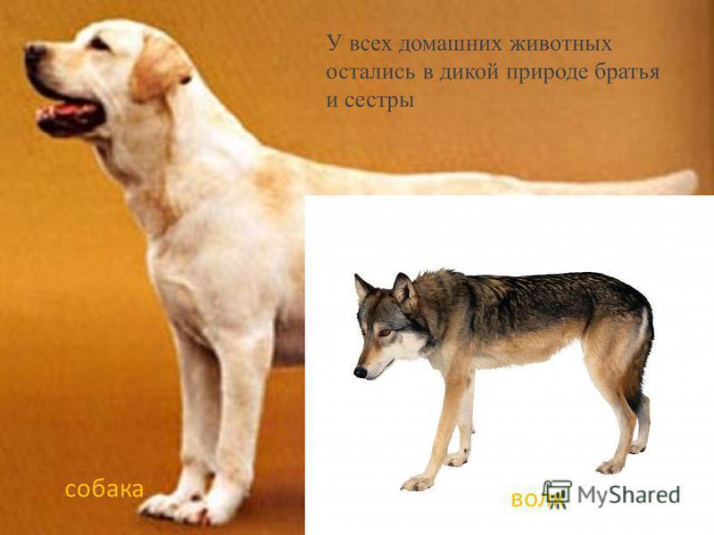 У всех домашних животных остались в дикой природе братья и сестры собака волк