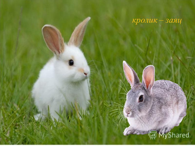 кролик – заяц