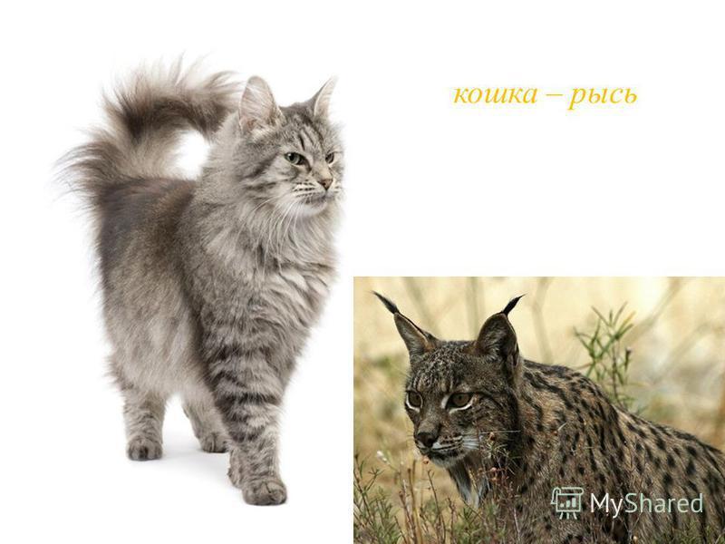 кошка – рысь