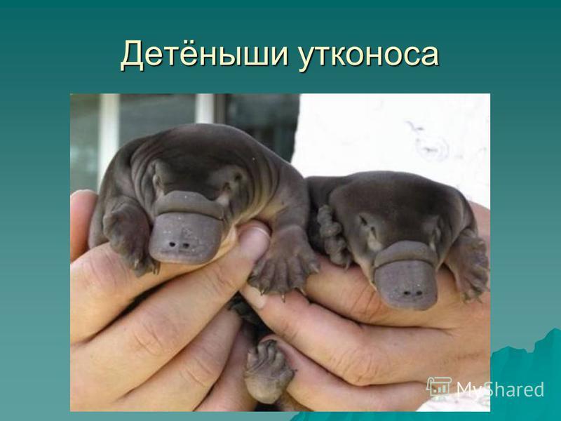 Детёныши утконоса
