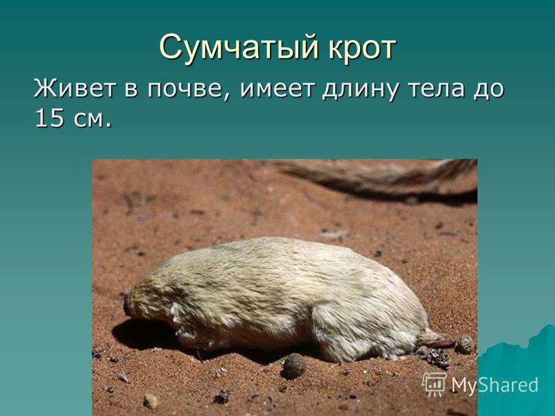 Живет в почве, имеет длину тела до 15 см. Сумчатый крот