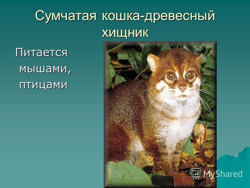 Питается мышами, мышами, птицами птицами Сумчатая кошка-древесный хищник