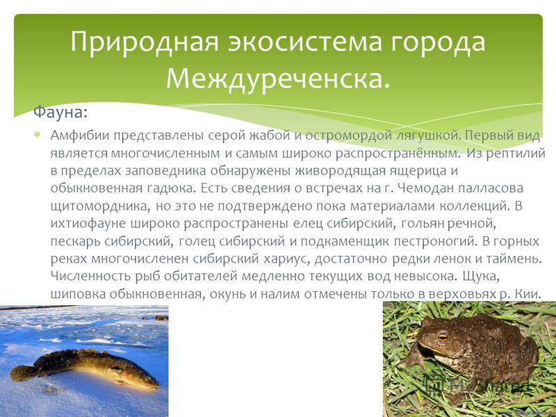 Фауна: Амфибии представлены серой жабой и остромордой лягушкой. Первый вид является многочисленным и самым широко распространённым. Из рептилий в пределах заповедника обнаружены живородящая ящерица и обыкновенная гадюка. Есть сведения о встречах на г