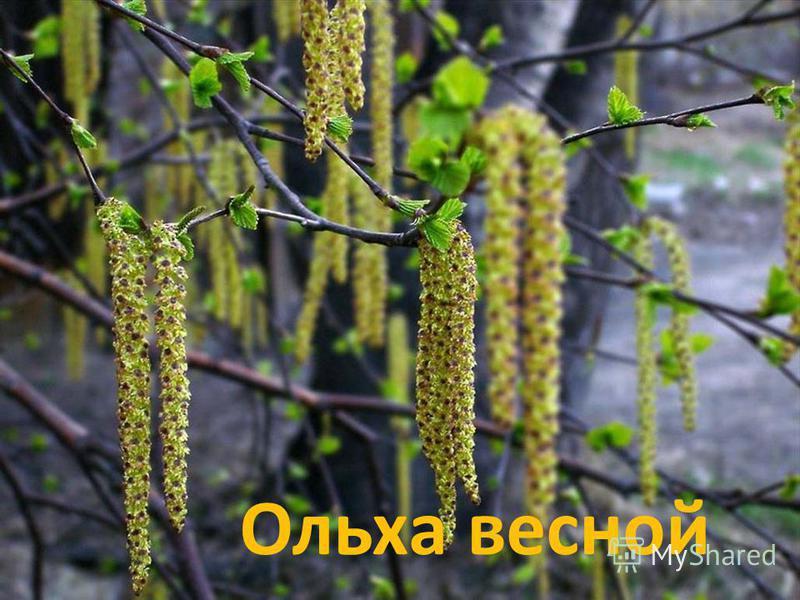 Ольха весной