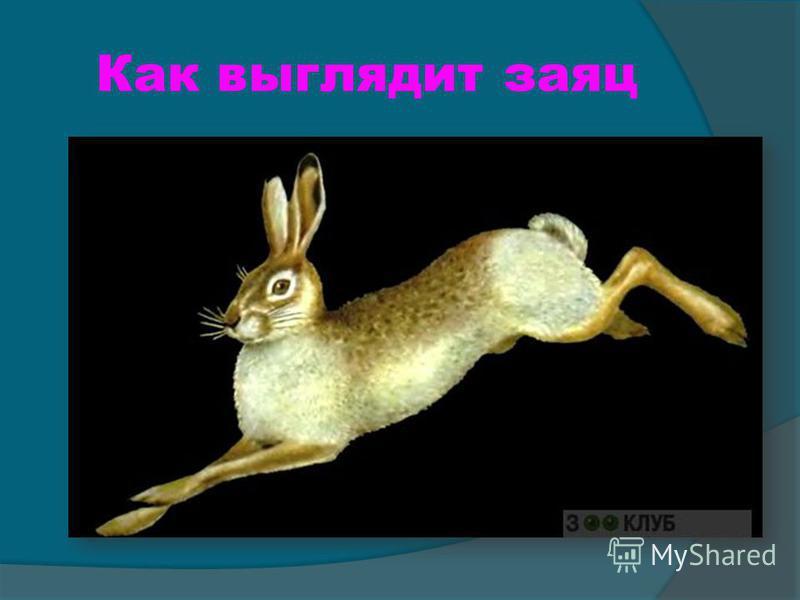 Как выглядит заяц