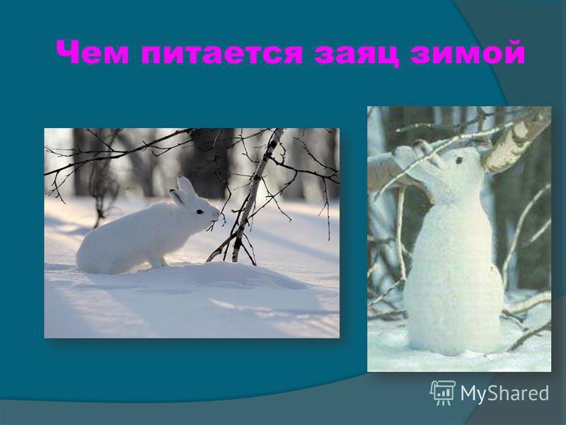 Чем питается заяц зимой