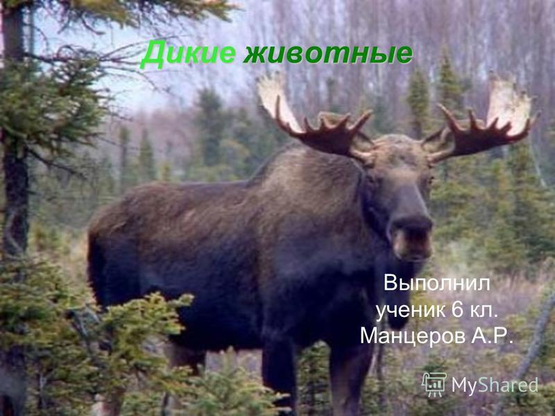Дикие животные Выполнил ученик 6 кл. Манцеров А.Р.