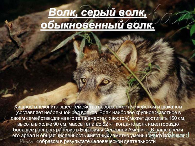Волк, серый волк, обыкновенный волк. Хищное млекопитающее семейства псовых вместе с койотом и шакалом (составляет небольшой род волков. Волк-наиболее крупное животное в своем семействе:длина его тела(вместе с хвостом)может достигать 160 см, высота в