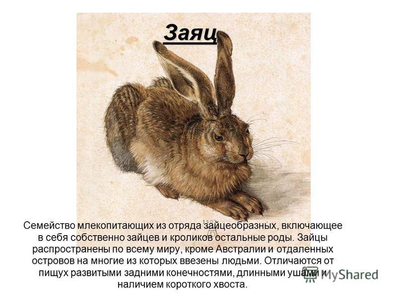 Заяц Семейство млекопитающих из отряда зайцеобразных, включающее в себя собственно зайцев и кроликов остальные роды. Зайцы распространены по всему миру, кроме Австралии и отдаленных островов на многие из которых ввезены людьми. Отличаются от пищух ра