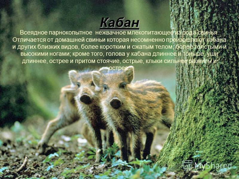 Кабан Всеядное парнокопытное нежвачное млекопитающее из рода свинья. Отличается от домашней свиньи которая несомненно произошла от кабана и других близких видов, более коротким и сжатым телом, более толстыми и высокими ногами; кроме того, голова у ка