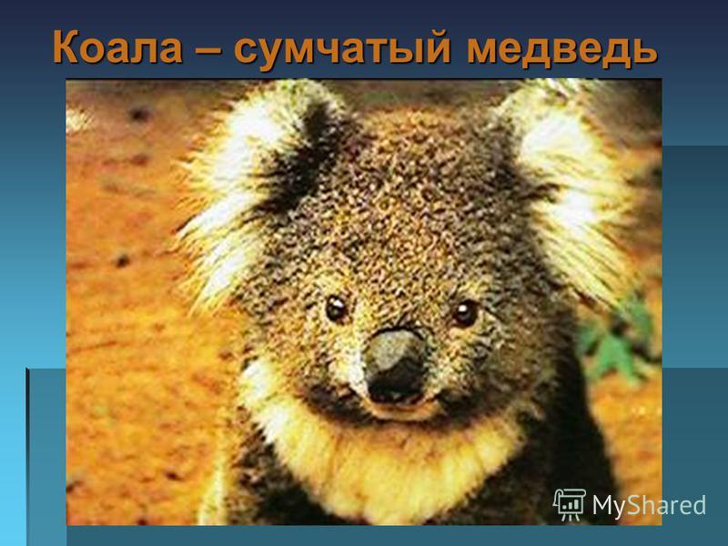 Коала – сумчатый медведь Коала – сумчатый медведь