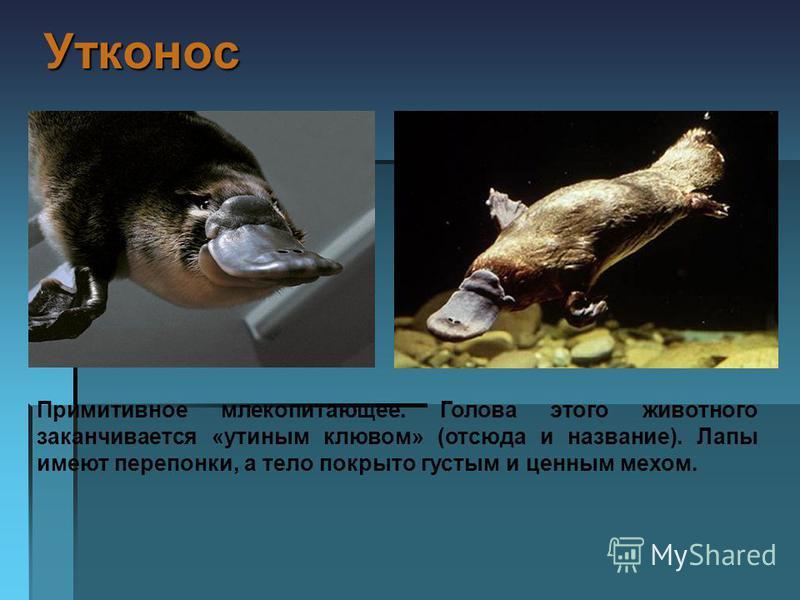 Утконос Утконос Примитивное млекопитающее. Голова этого животного заканчивается «утиным клювом» (отсюда и название). Лапы имеют перепонки, а тело покрыто густым и ценным мехом.