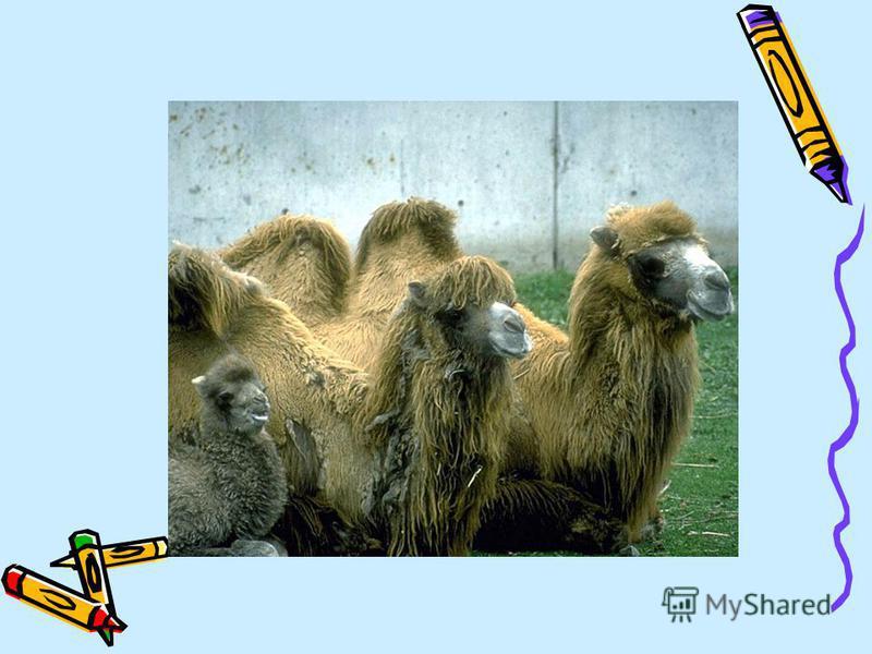 Угадайте животное: Д Ю Л Б Р Е В Верблюд - животное, которое живет на юге нашей Родины. Послушайте рассказ о верблюде, пчелах, гусе.