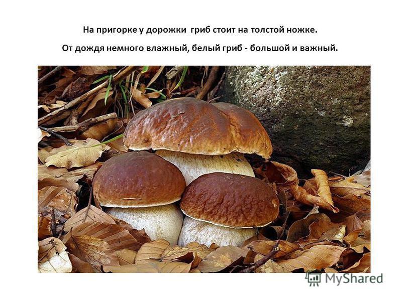 На пригорке у дорожки гриб стоит на толстой ножке. От дождя немного влажный, белый гриб - большой и важный.