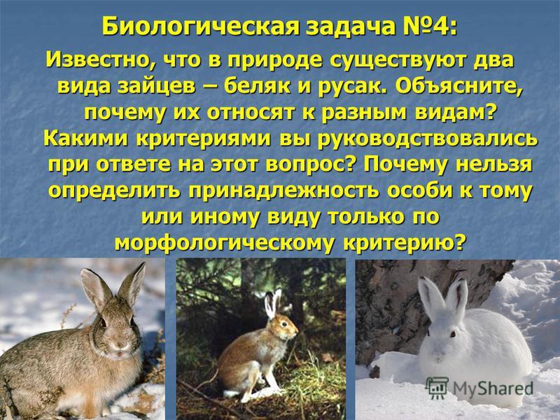 Биологическая задача 4: Известно, что в природе существуют два вида зайцев – беляк и русак. Объясните, почему их относят к разным видам? Какими критериями вы руководствовались при ответе на этот вопрос? Почему нельзя определить принадлежность особи к