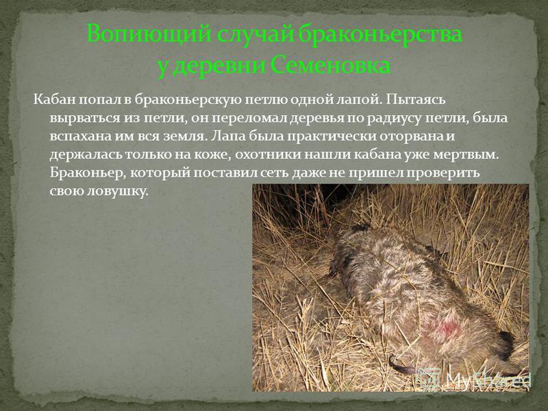 Кабан попал в браконьерскую петлю одной лапой. Пытаясь вырваться из петли, он переломал деревья по радиусу петли, была вспахана им вся земля. Лапа была практически оторвана и держалась только на коже, охотники нашли кабана уже мертвым. Браконьер, кот