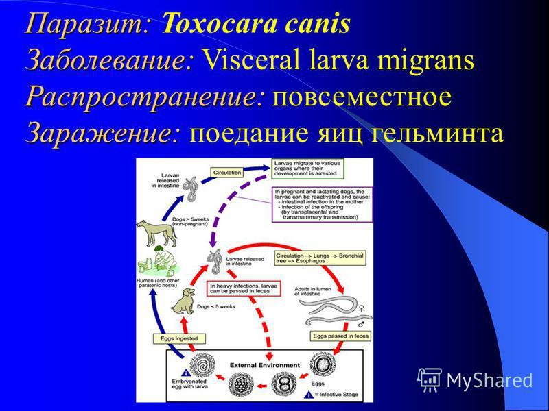 Паразит: Паразит: Toxocara canis Заболевание: Заболевание: Visceral larva migrans Распространение: Распространение: повсеместное Заражение: Заражение: поедание яиц гельминта