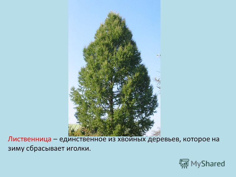 Лиственница – единственное из хвойных деревьев, которое на зиму сбрасывает иголки.
