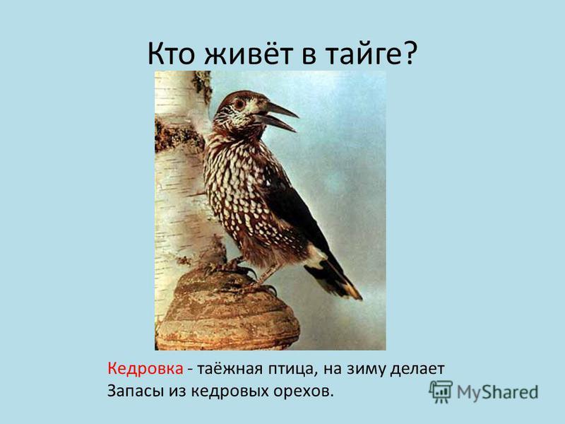 Кто живёт в тайге? Кедровка - таёжная птица, на зиму делает Запасы из кедровых орехов.