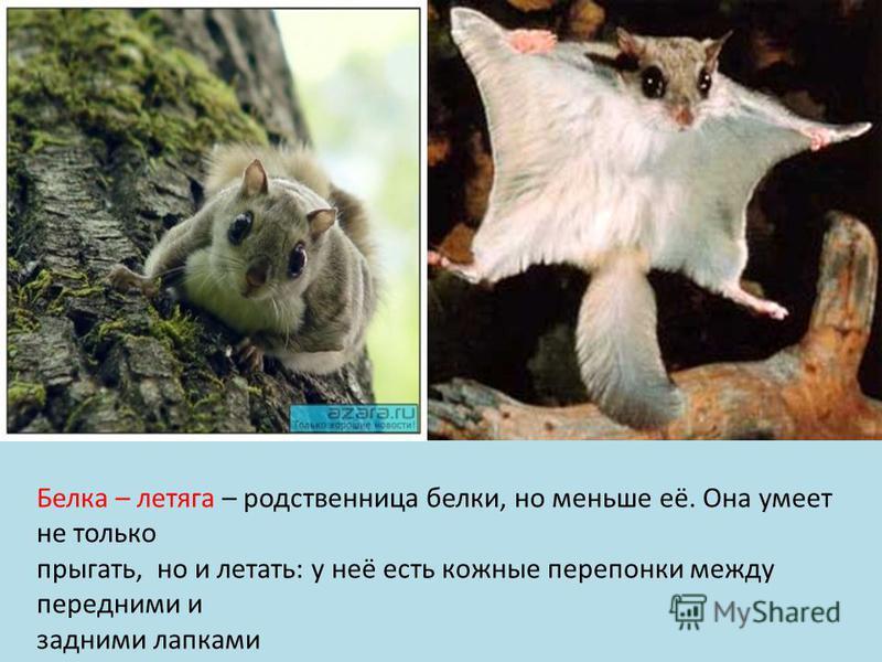 Белка – летяга – родственница белки, но меньше её. Она умеет не только прыгать, но и летать: у неё есть кожные перепонки между передними и задними лапками