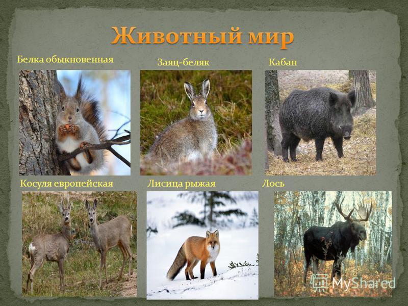 Белка обыкновенная Заяц-беляк Кабан Косуля европейская Лисица рыжая Лось