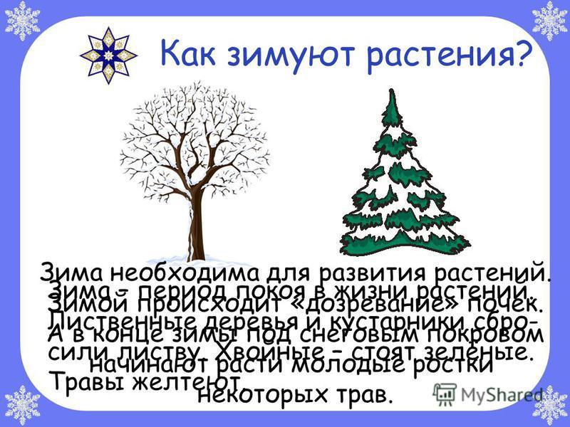 Зима необходима для развития растений. Зимой происходит «дозревание» почек. А в конце зимы под снеговым покровом начинают расти молодые ростки некоторых трав. Как зимуют растения? Зима – период покоя в жизни растений. Лиственные деревья и кустарники