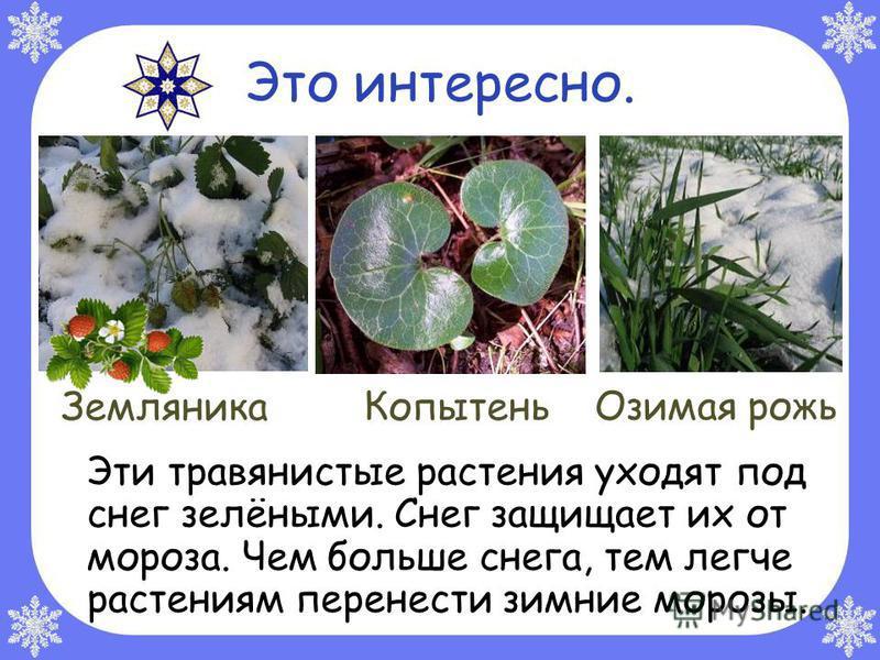 Это интересно. Эти травянистые растения уходят под снег зелёными. Снег защищает их от мороза. Чем больше снега, тем легче растениям перенести зимние морозы. Земляника Копытень Озимая рожь