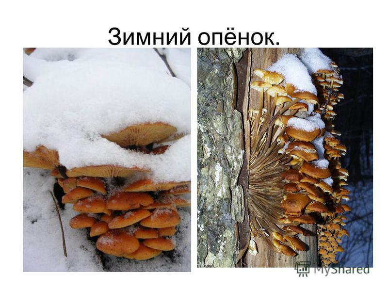 Зимний опёнок.