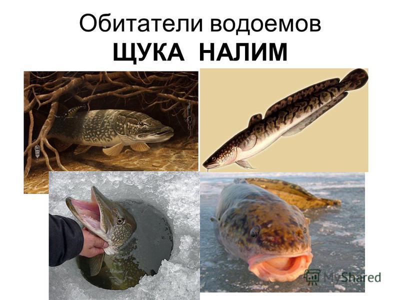 Обитатели водоемов ЩУКА НАЛИМ